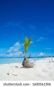 Coconuts sprout is growing on the beach, Kayangel state, Palau, Pacific