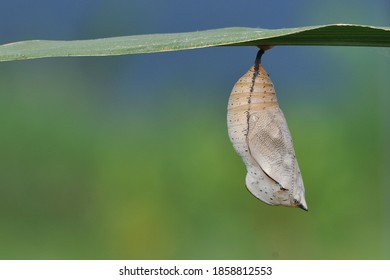 cocoons hanging on the leaves - butterfly cocoons