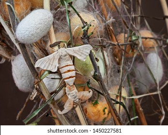 cocoons for silk production with silk moths butterfly mating