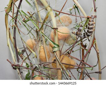 cocoons and silkworm for silk making