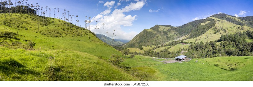 Cocora valley near Salento with enchanting landscape of pines and eucalyptus towered over by the famous giant wax palms, clear blue sky, Colombia