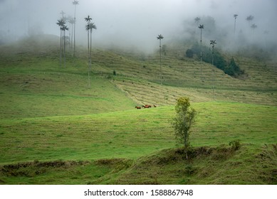 The Cocora Valley in Salento, Colombia. It is home to the national tree of Colombia, the tall wax palms. It was foggy and beautiful brown horses were grazing in the fields.