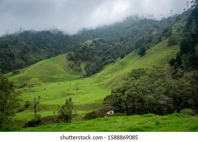 The Cocora Valley in Salento, Colombia. It is home to the national tree of Colombia, the tall wax palms. The mountain was foggy and cows were grazing in the fields.