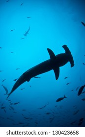 Cocos Island, several hundred miles off the west coast of Costa Rica, is home to a large population of Scalloped hammerhead sharks (Sphyrna lewini).  It is on the globally endangered species list.