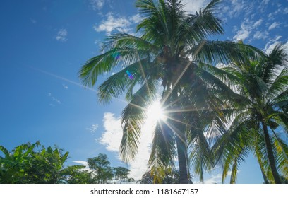 Cocos nucifera and banan trees in garden. Sunbeam shining through leaves and branches of coconut tree in a sunny day with natural lens flare and  blue sky. Tropical outdoor background.