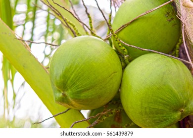 Cocunut cluster or coconut tree.Or fruit for health and summer.