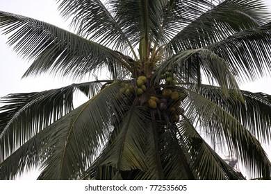 cocunut on the tree