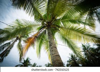 Cocunut tree from below