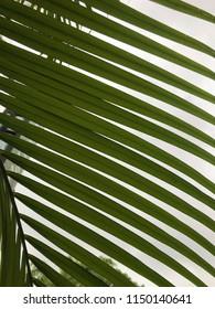 Cocunut Tree Leaves