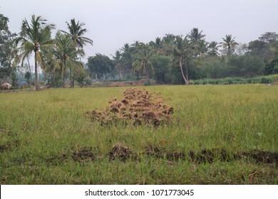 Cocunut tree yard in belthur