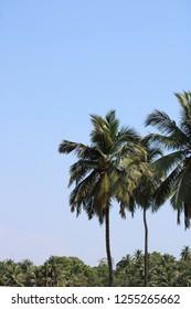 Cocunut trees in garden