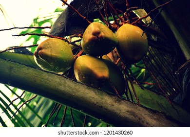 Cocunuts on the tree