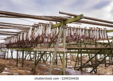 Cod fish (codfish) drying on wooden racks. Stockfish from Lofoten world known as Skrei, important norwegian export, Lofoten Islands, Norway, Europe