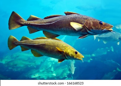 Cod fishes in aquarium, Alesund, Norway.