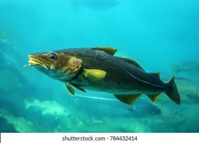 Cod fishes floating in aquarium, Norway.
