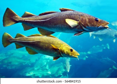 Cod fishes swimming underwater, Norway.