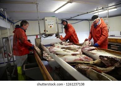Cod fishing. Røst. Lofoten. Norway. Fisherman preparing their cod catch .03.20.2012