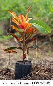 Codiaeum variegatum  Euphorbiaceae