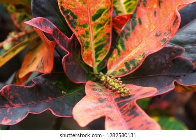 Codiaeum variegatum or garden croton mammi plant
