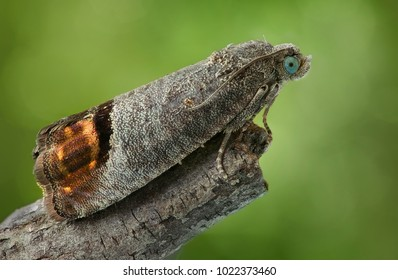 The codling moth (Cydia pomonella), a danger pest