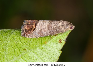 The codling moth (Cydia pomonella) is a member of the Lepidopteran family Tortricidae. It is major pests to agricultural crops, mainly fruits such as apples and pears in orchard and gardens.