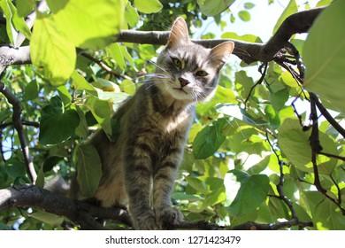 Cody the tomcat in quince tree 2017.10.03