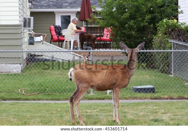 CODY, WYOMING - JULY 2, 2016 - Deer staring at dog in backyard