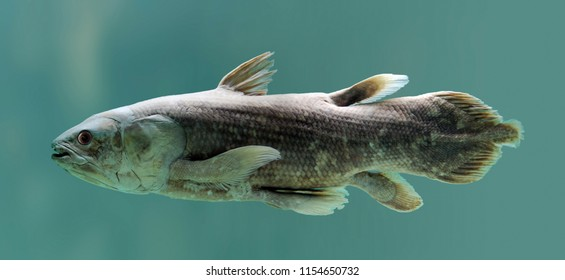 Coelacanth Fish - Latimeria Chalumnae - Green Water.