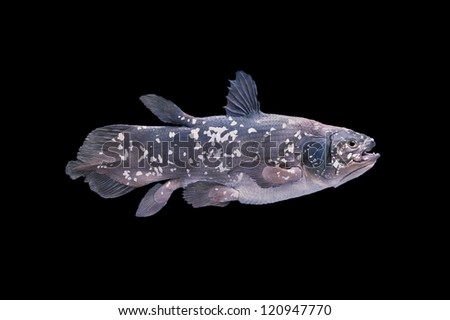 Coelacanth is a living fossil fish, Sarcopterygii (lobe-finned fish and tetrapods). Latimeria chalumnae and the Latimeria menadoensis are the only two living coelacanth species.