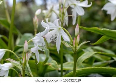 Coelia bella - a species of orchid native to Mexico, Guatemala, Honduras  and Costa Rica