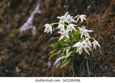 Coelogyne corymbosa is a species of orchid. Beautiful wild flower native to China. Orchid background.