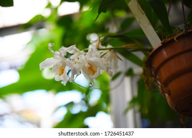 Coelogyne cristata: the Orchid blooms in winter in the greenhouse with white flowers