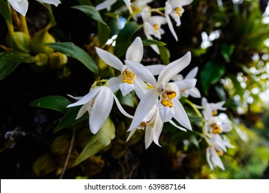 Coelogyne nitida (Wall. Mss.) Lindl. epiphytic orchid In the habitat.
