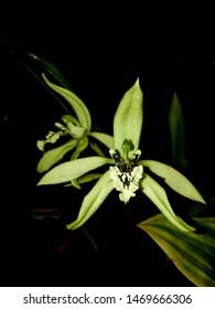Coelogyne pandurata orchid in bloom