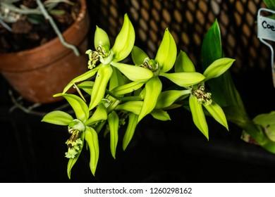 Coelogyne pandurata orchid blooming in a botanic garden.