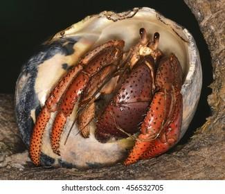 Coenobita clypeatus (the Caribbean hermit crab),  a species of land hermit crab native to the west Atlantic