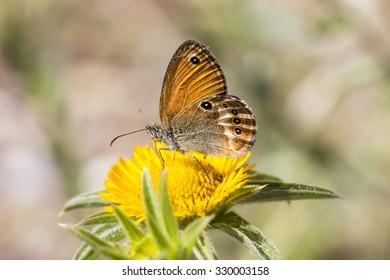 Coenonympha elbana (Coenonympha corinna) Elban heath butterfly from Elba, Italy, Europe