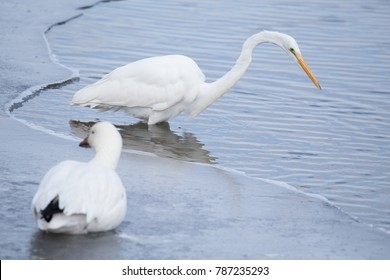 Coexisting great egret and snow goose in partially frozen river, Prime Hook National Wildlife Refuge