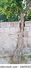 Coexisting with nature: A tree inside a wall