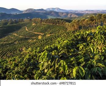 Coffe field in Minas Gerais State, Brazil