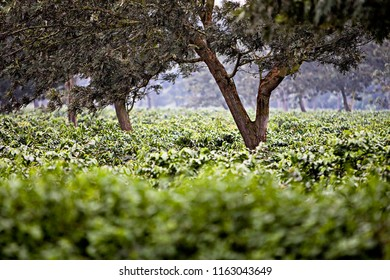 Coffe Plantation in Africa