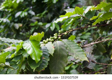 Coffea arabica bush with ripening arabica coffee beans originally from Ethiopia the species accounts for 60 percent of the world bean production