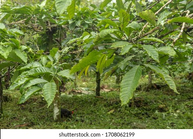 Coffea arabica bush with ripening arabica coffee beans originally from Bali, Indonesia. Coffea arabica green coffee beans on the tree. Toraja Arabica Cherry bean on the Coffee tree.