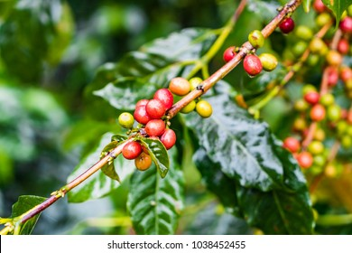 Coffea Arabica plantation, Coffee beans ripening on the rainy day with water drops