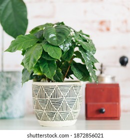 Coffee Arabica plant with red vintage coffee grinder in background against red brick wallpaper