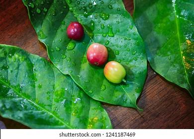 Coffee bean, Coffee Arabica on leaf