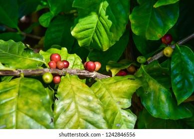 Coffee bean, Coffee Arabica coffee tree