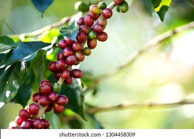 Coffee bean berry ripening on coffee farm