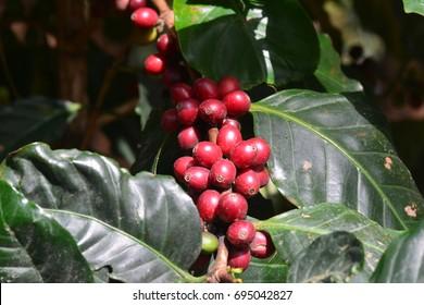 Coffee bean, coffee cherries or coffee berries on Arabica coffee tree
