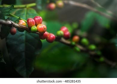 Coffee bean, Coffee tree.